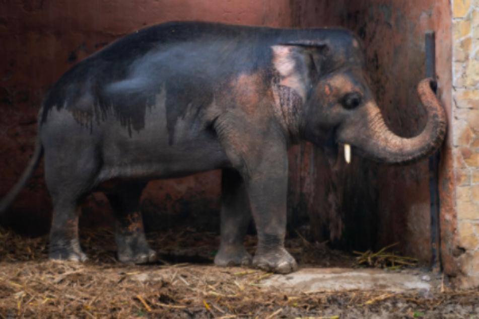 """""""Einsamster Elefant der Welt"""" darf endlich umziehen"""