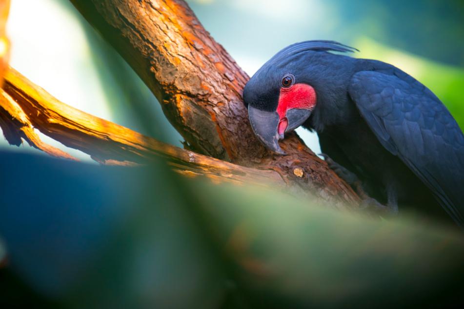 Dieser weltweit einzigartige Vogel ist in großer Gefahr!