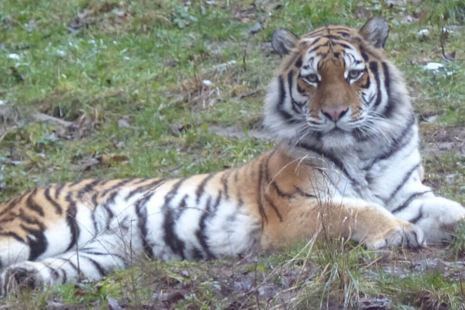 Blutiger Kampf im Zoo: Tiger Ivo beißt Tigerdame Kimberly tot