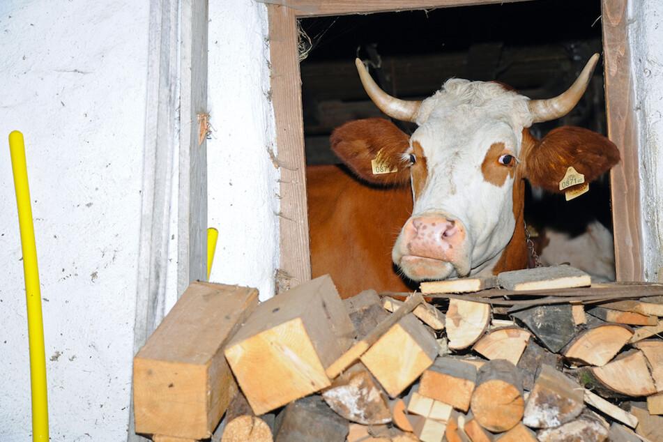 Frau verletzt: Kuh geht auf Bäuerin los und drückt sie gegen Stallabtrennung