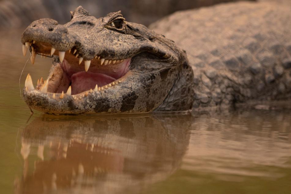 Mädchen von Reptil angegriffen: Krokodil tötet Achtjährige!