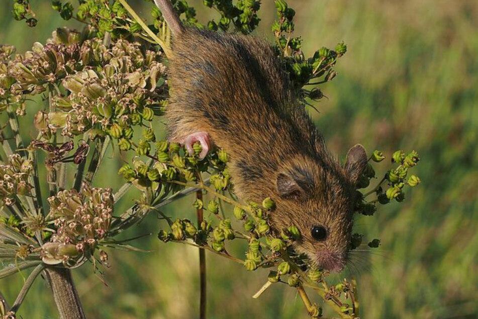 Keine gewöhnliche Maus: Deswegen ist dieser kleine Nager eine tierische Sensation!