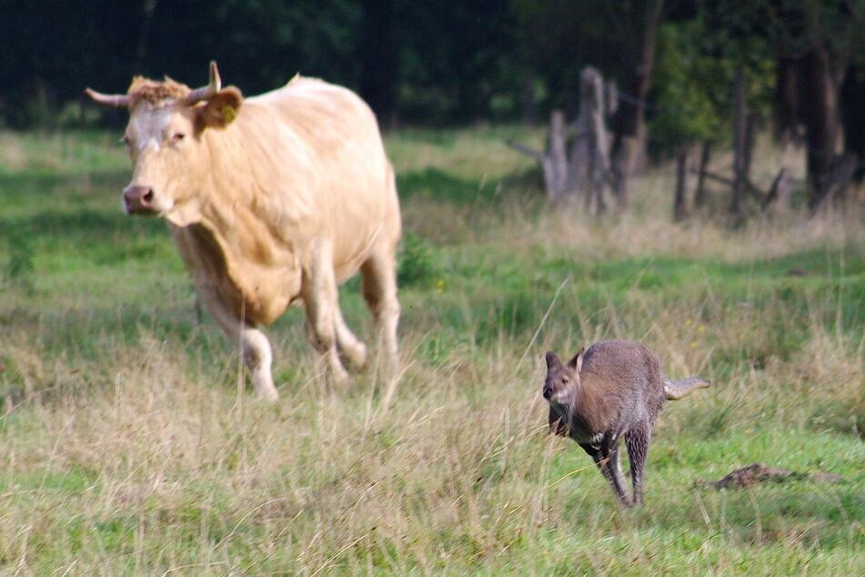Das entlaufene Känguru springt vor einer Kuh über eine Wiese.