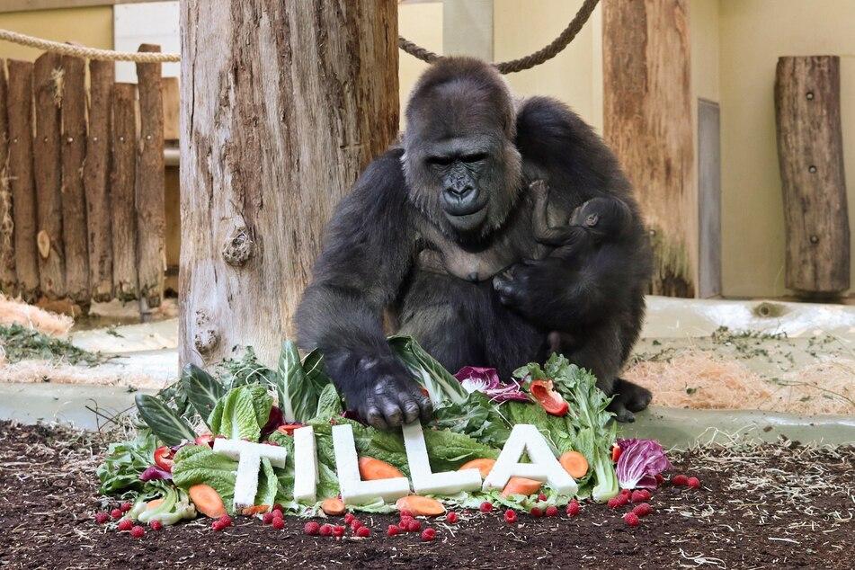 Berlins Gorilla-Mädchen trägt den Namen Tilla.
