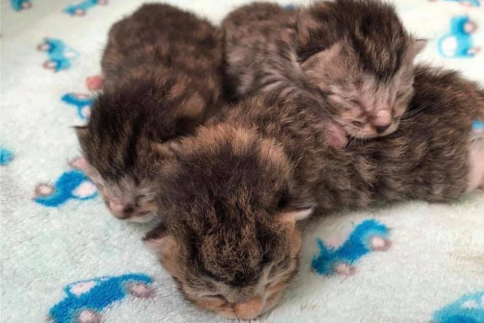 Unter den elf Babykätzchen im Tierheim Stendal-Borstel sind drei gestreifte...