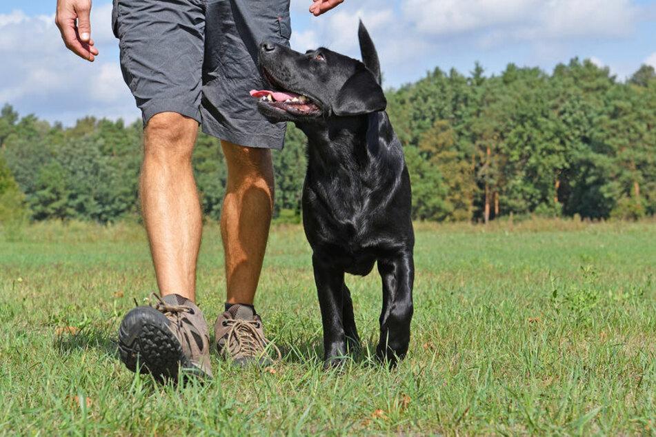 """Ein gut erzogener Hund blickt zu seinem """"Rudelführer"""" (Symbolbild)."""