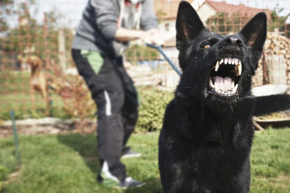 Die Polizei sucht nach dem Besitzer des Hundes, der den Vierbeiner einer Spaziergängerin attackiert und verletzt hat. (Symbolbild)