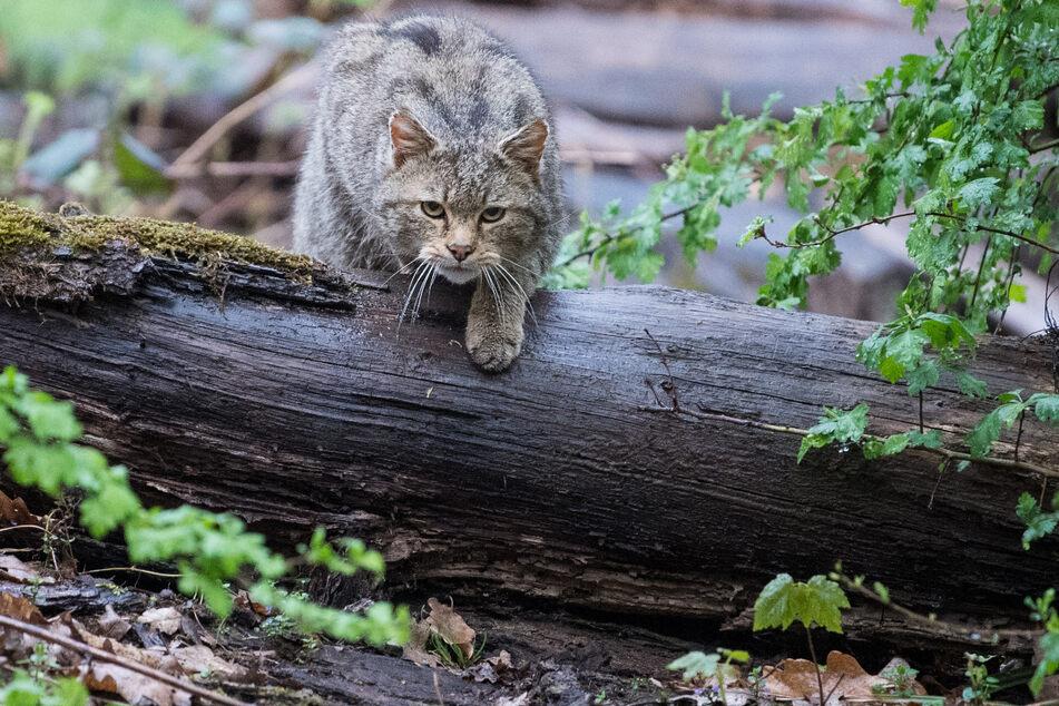 April 2018: Eine Wildkatze läuft im Wildparadies Tripsdrill über einen Stamm.