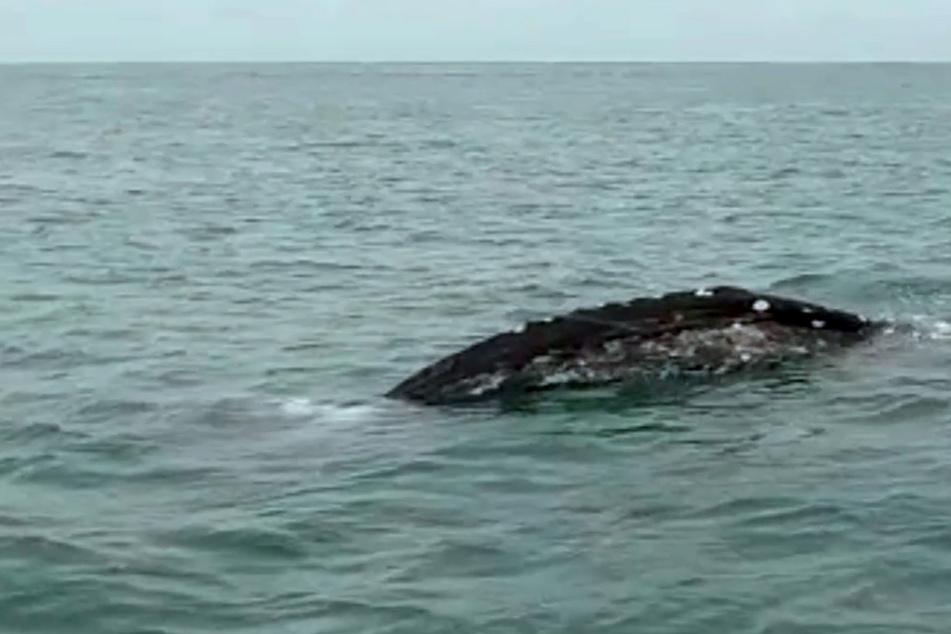 Grauwal taucht vor Italien auf und stellt Experten vor Rätsel