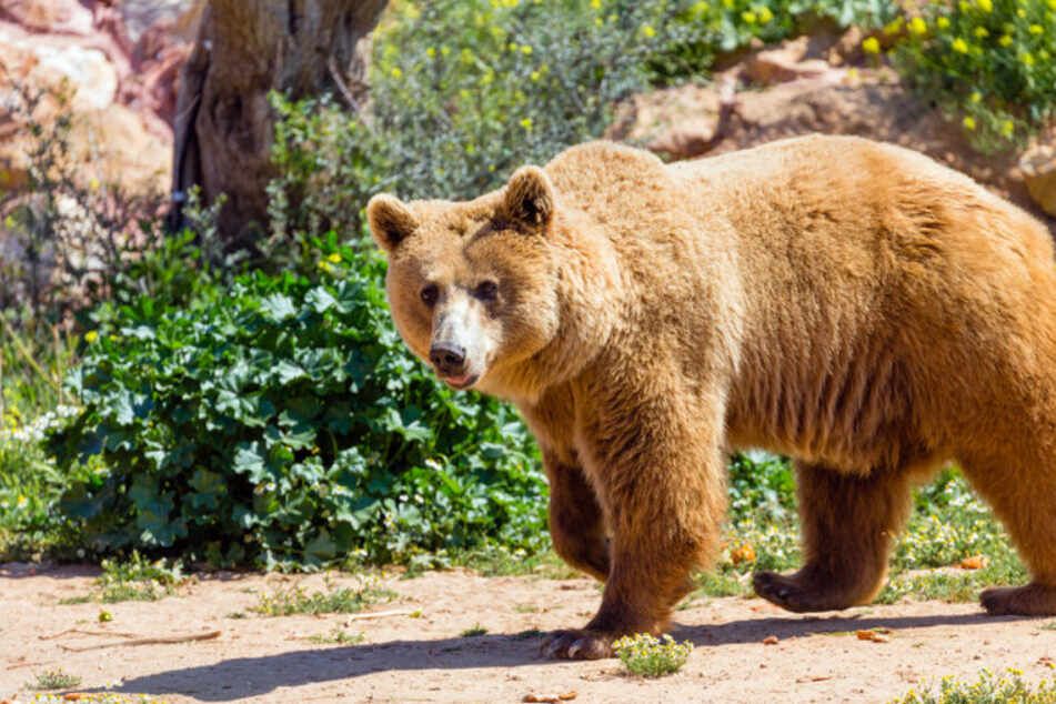 A bear attacked a police officer in Italy.