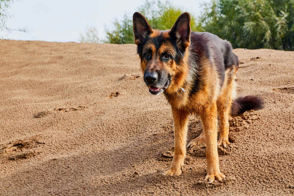 A 7-year-old German shepherd dug itself out of its own grave (stock image).