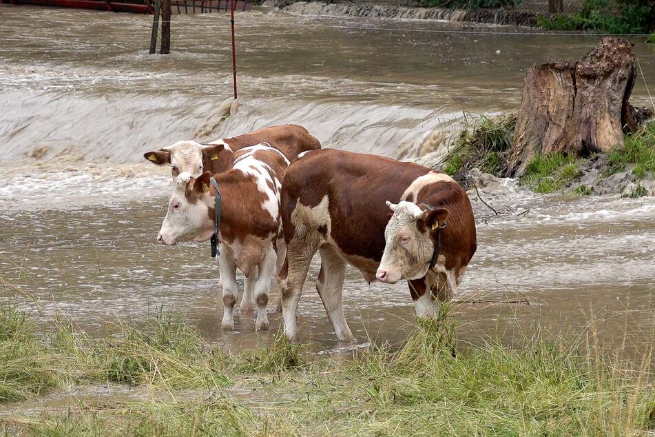 Drei Kühe wurden im Vogtland auf einer Weide von dem Unwetter überrascht und von dem Wasser eingeschlossen.