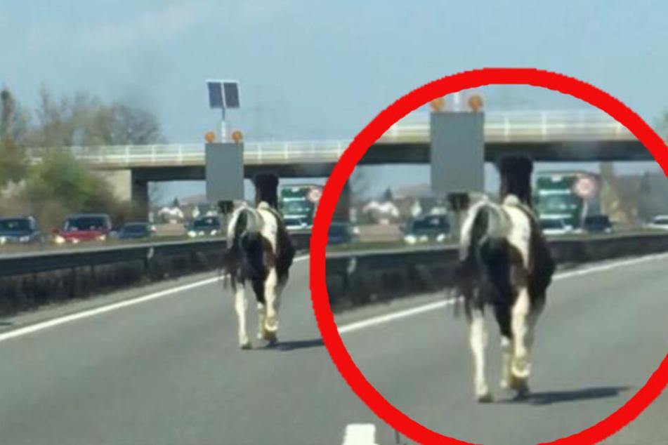 Autofahrer trauen ihren Augen nicht: Pferd verwechselt Autobahn mit Galopprennbahn