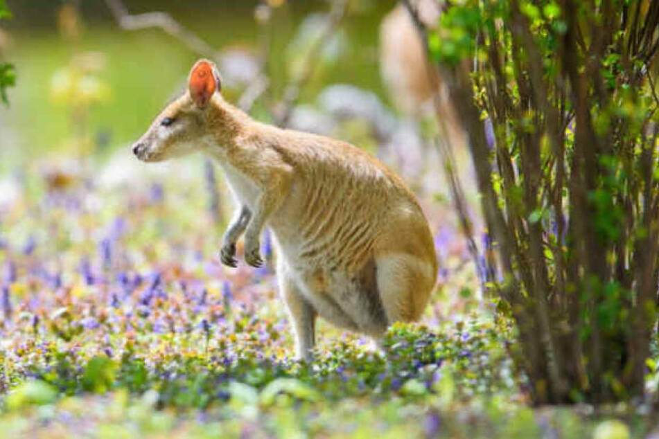 Das Känguru ist wieder da, aber das Jungtier bleibt verschwunden. (Symbolbild)