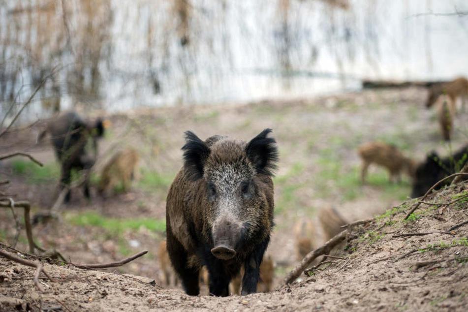 Die Angst ist groß, dass das Virus der Wildschweinpest auch auf Hausschweine überspringt. (Symbolbild)