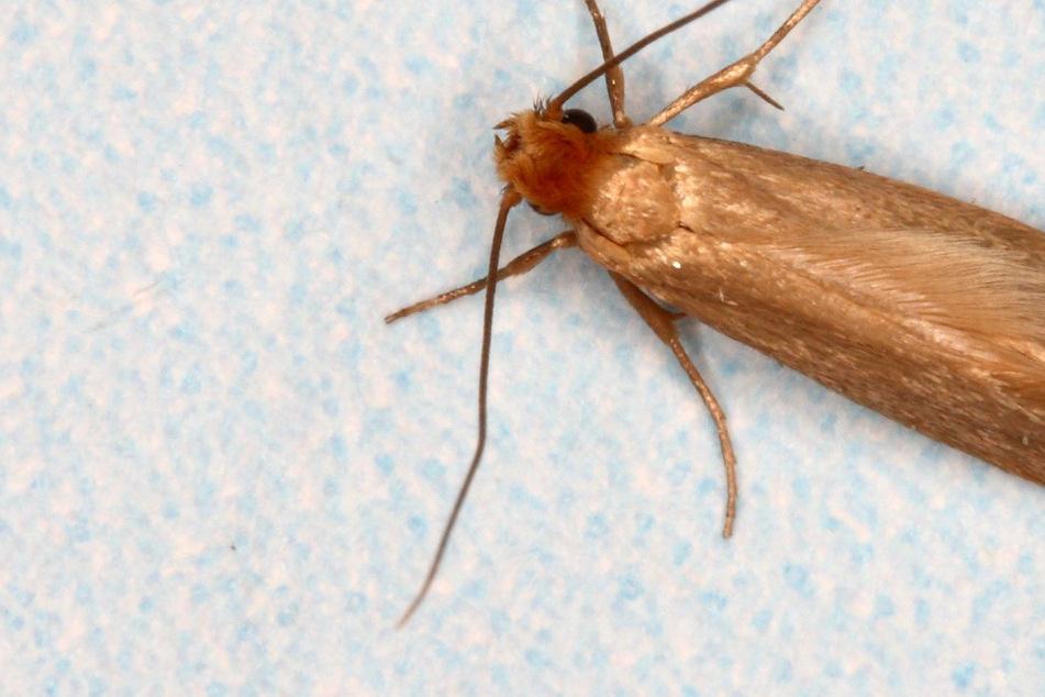 Kleidermotten bekämpfen: Was hilft gegen die Schädlinge im Kleiderschrank?