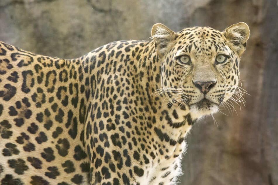 Der Leopard überraschte die Mönche beim Morgengebet. (Symbolbild)
