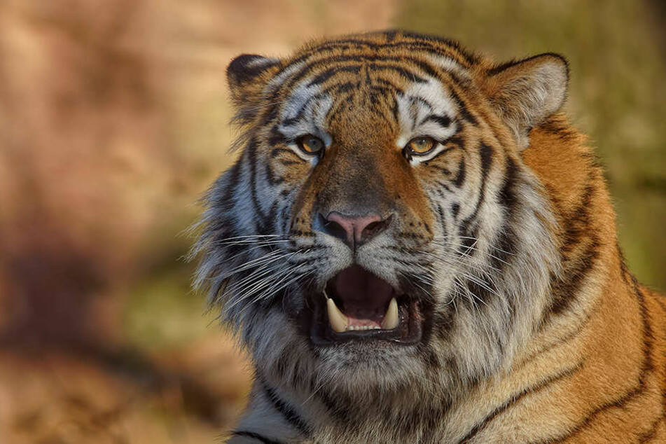 Der Chemnitzer Tierpark hat am Montag einen Sibirischen Tiger aus Nürnberg bekommen.