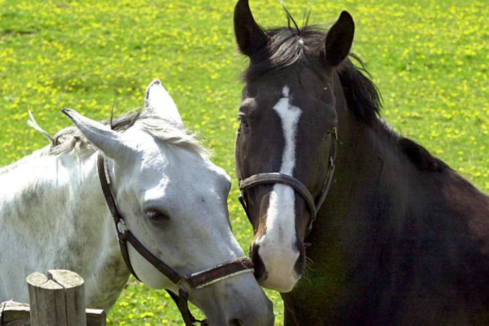 Die Pferde werden immer wieder durch Böller aufgeschreckt. (Symbolbild)
