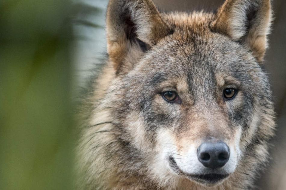 Bisher wurde ein Wolf in Thüringen nachgewiesen.