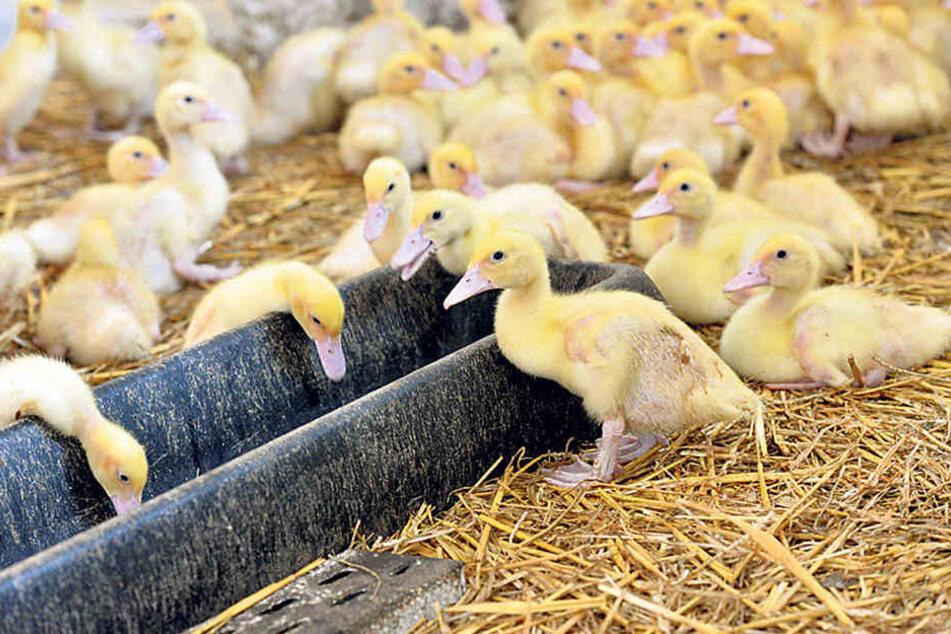 Beim Tag des offenen Bauernhofs  dürfen auch Entenküken nicht fehlen.