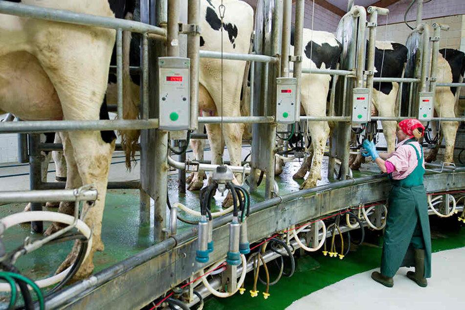 Milch-Krise geht weiter: Immer mehr Bauern geben auf