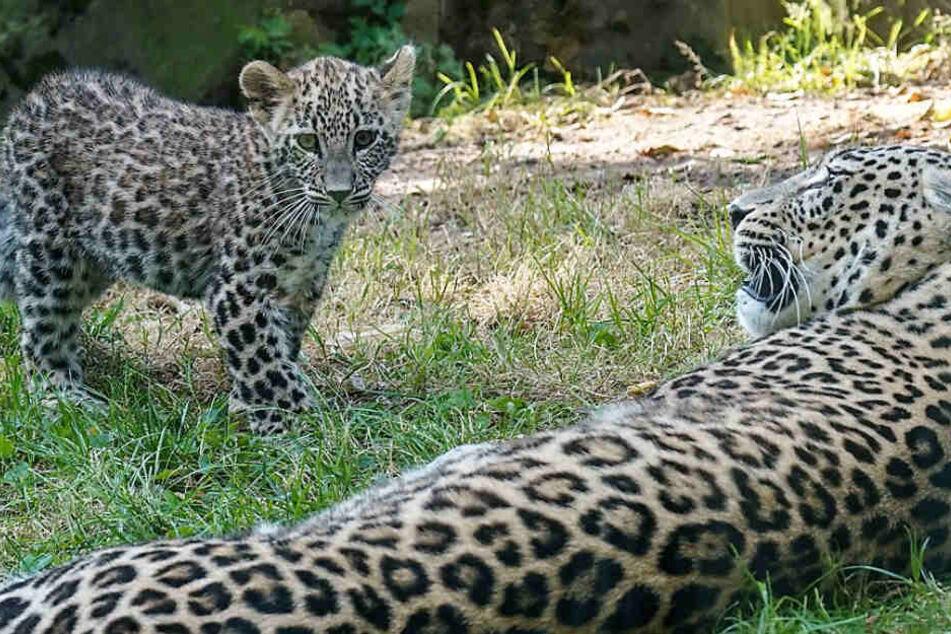 Sensation im Kölner Zoo: Seltene Leoparden geboren!