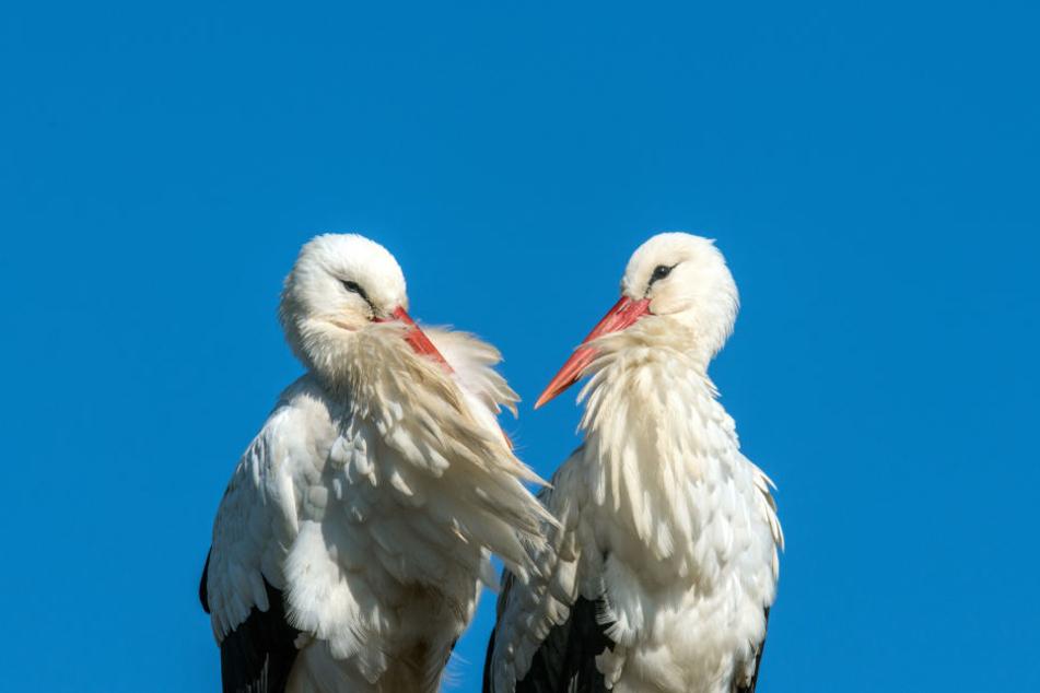 550 Brutpaare erwartet der Naturschutzbund Nabu bis Ende April.