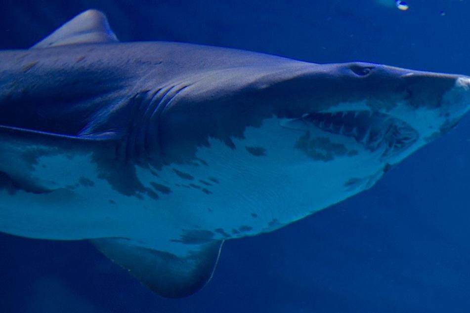 Bis zu 3 Meter soll der Hai lang gewesen sein (Symbolbild).
