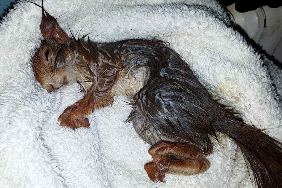 Nach der Rettung war das Tier völlig am Ende und musste mit Glukose aufgepeppelt werden.