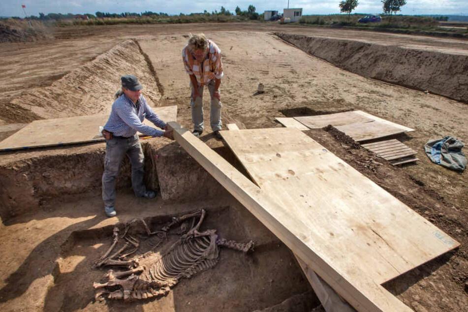 Überreste der Lieblingstiere des Kriegers, ein Pferd und ein Hund in einer Grabkammer aus der Zeit des Thüringer Königreiches (5./6. Jh.n.Chr.).