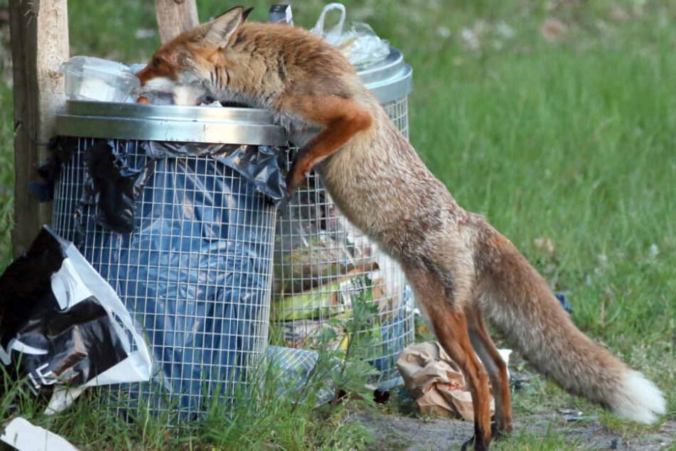 Ein Fuchs stöbert am Wannsee in Berlin im Müll nach Nahrung. (Archivbild)