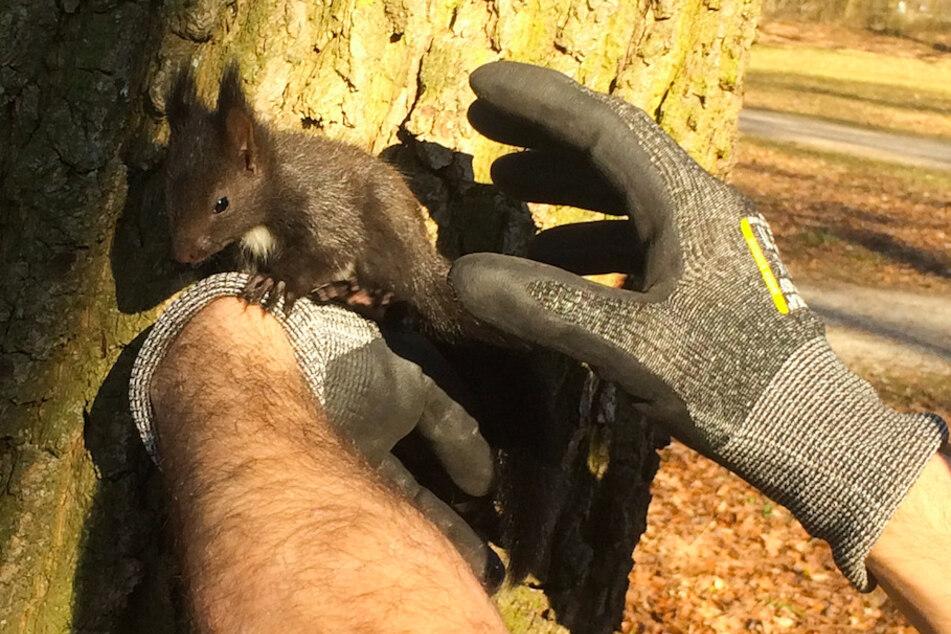 Ein Feuerwehrmann hält ein Eichhörnchen-Junges, das aus dem Nest gefallen war.