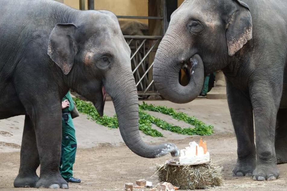 Mit einer tiergerechten Geburtstagstorte hat der Tierpark den 40. Geburtstag seiner Elefantendame Yashoda gefeiert.