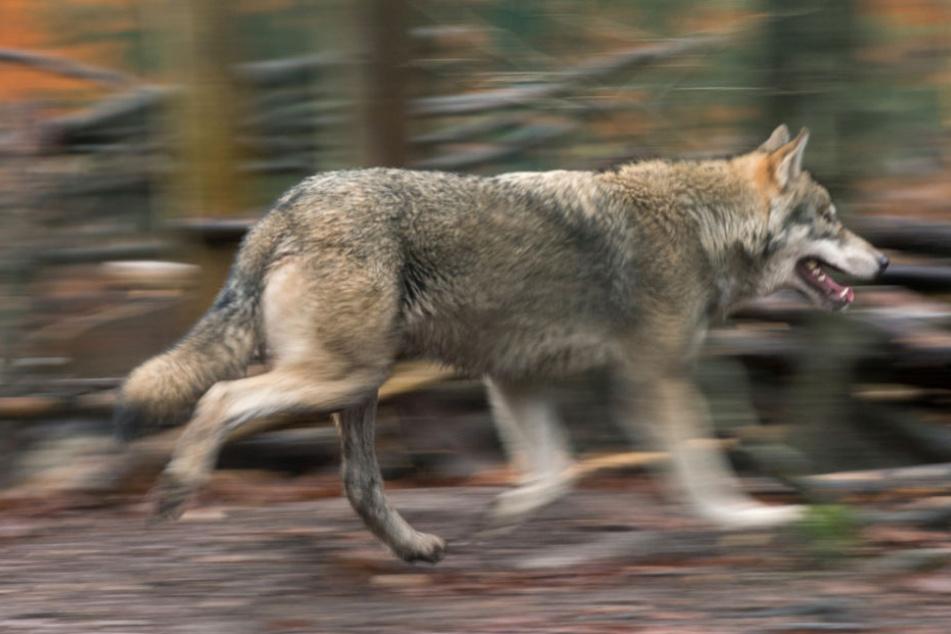 War es ein Wolf oder ein Hund? (Symbolfoto).