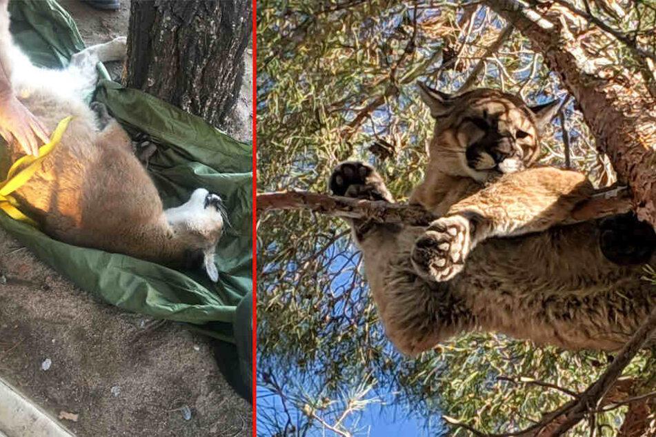 Professionell betäubt konnte das Tier aus dem Baum geholt werden.