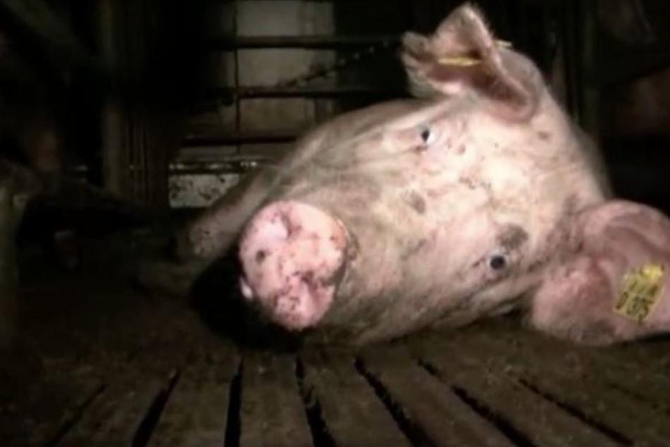 In dem Betrieb werden hunderte Schweine auf engstem Raum gehalten.