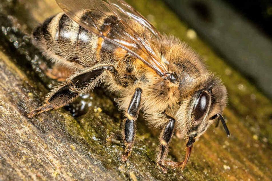 Eine Biene löste den Verkehrsunfall aus. (Symbolbild)