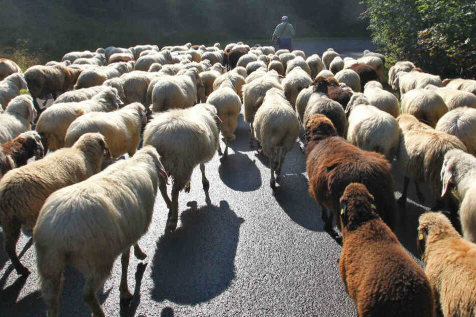 Halbe Herde tot: Traurige Gewissheit nach Schafabtrieb aus den Bergen