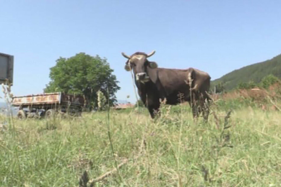 Ende der EU-Grenzposse: Bulgarische Kuh Penka wird nicht geschlachtet