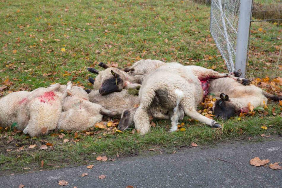 Die getöteten Schafe liegen am Sonntagmorgen neben der Festkoppel.