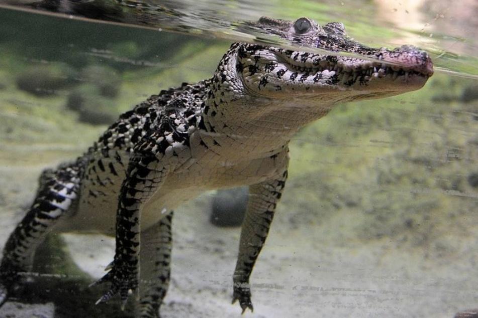 Das Krokodil war wohl aus einer der umliegenden Lagunen gekommen. (Symbolbild)