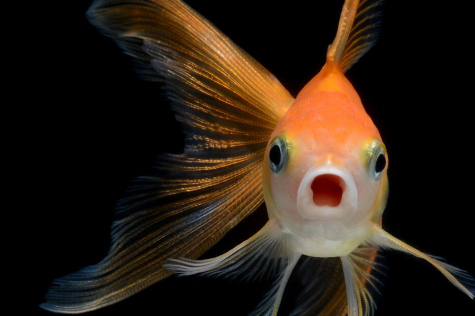 Deswegen können Goldfische in Deutschland zur Gefahr werden