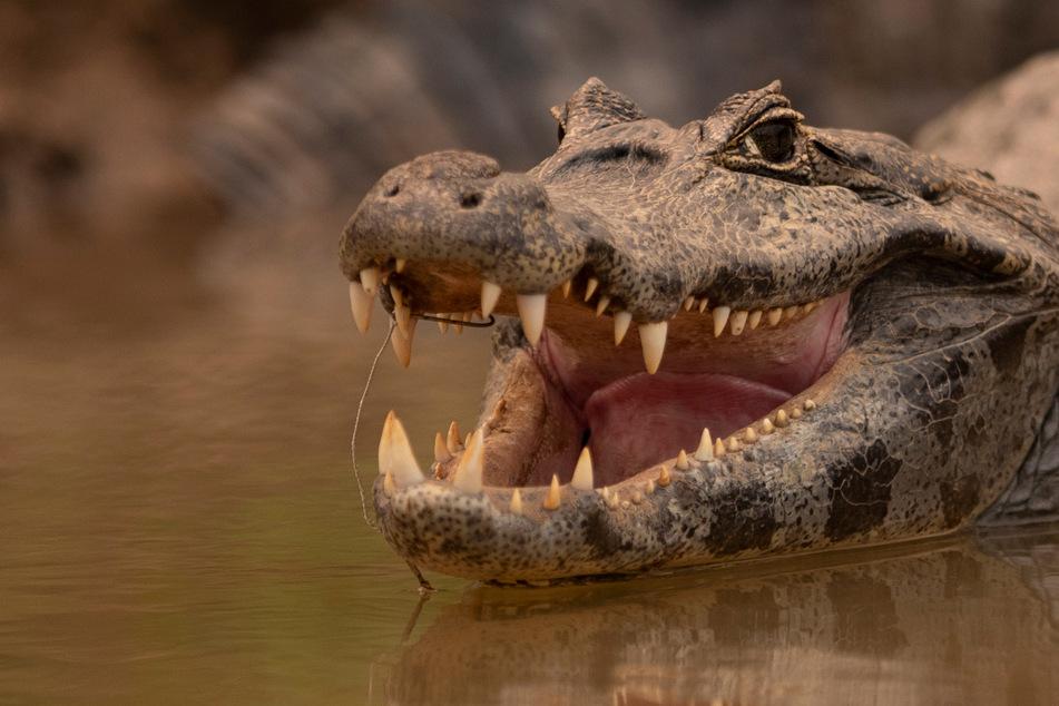Achtjähriger Junge badet im Fluss und wird plötzlich von einem Krokodil angegriffen