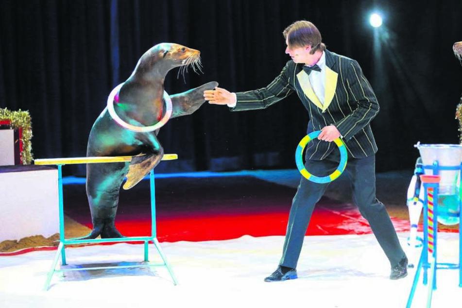 Neben den Elefanten hat Erwin Frankello auch eine Nummer mit seinen beiden Seelöwen Itchy & Scratchy mit nach Dresden gebracht.