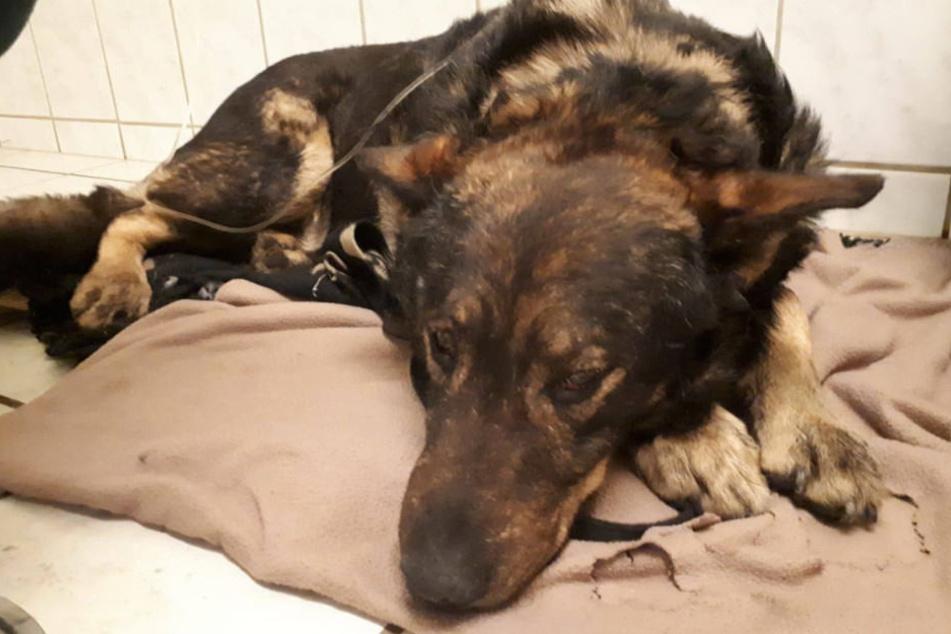 Dieser süße Schäferhund sucht ein neues Zuhause