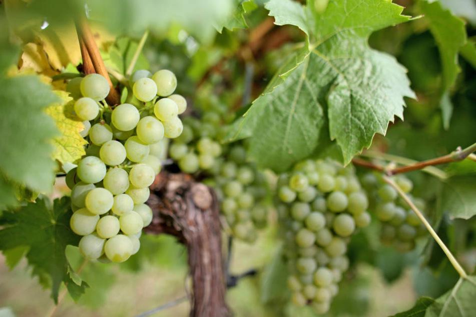 Seit der Wende hat sich die Anbaufläche für Wein in der Saale-Unstrut-Region mehr als verdoppelt.