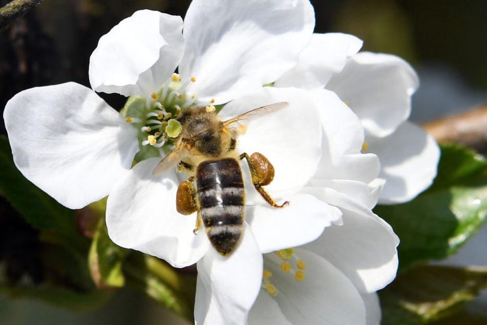 Eine Biene sitzt auf dem Obsthof Lefers im Alten Land auf einer Kirschblüte.