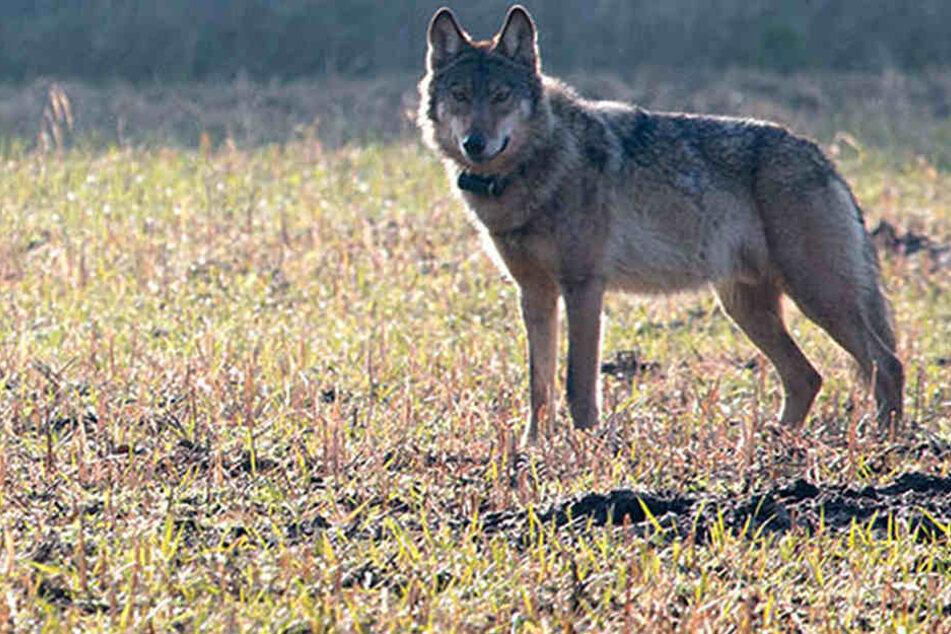 Sie nutzten ein Loch im Zaun! Wölfe büxen aus Gehege aus