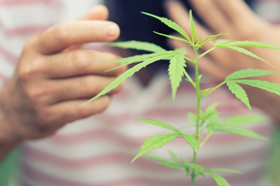 Ein 13-Jähriger entdeckte Cannabis-Pflanzen im Garten seiner Mutter und ging zur Polizei.